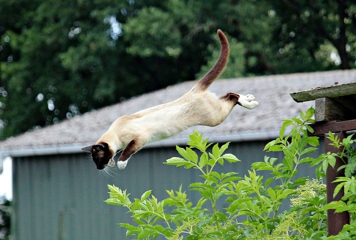 Siamese cat jump